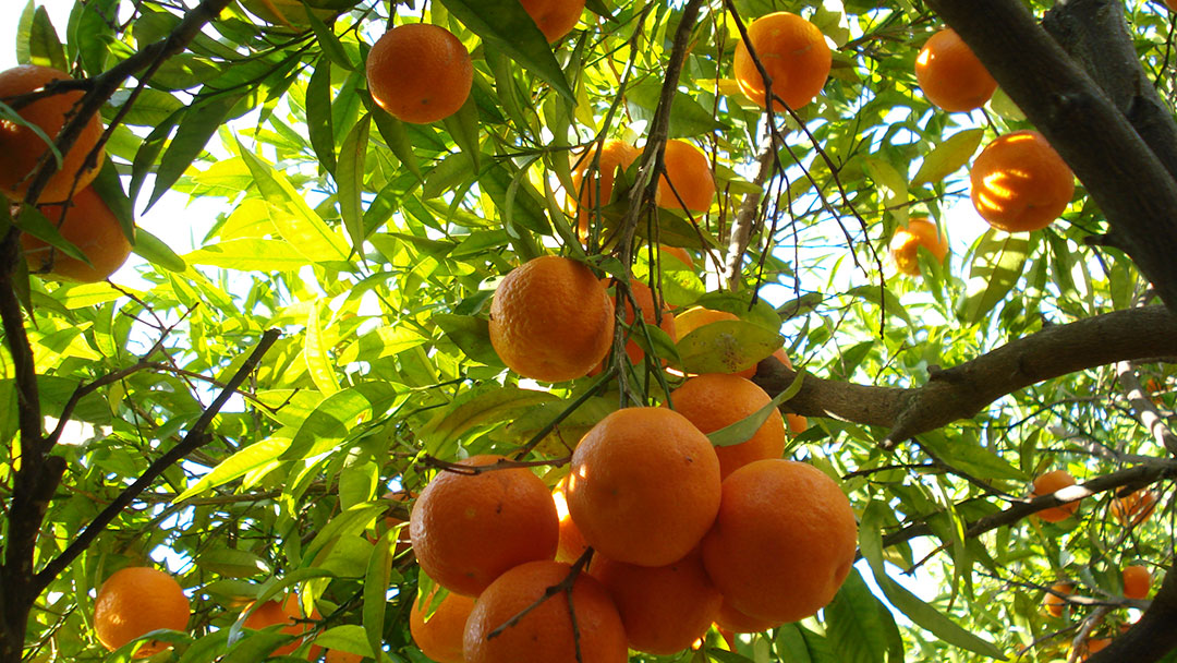 laranjasDSC06218